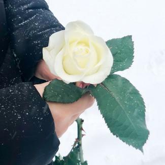 White Roses per Piece 70-80 cm